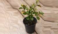 Thompson & Morgan Ceanothus Thyrsiflorus Repens Bushes: Three