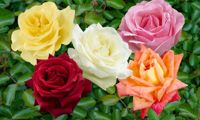 You Garden Five Rose Bushes with Pots
